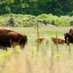 Photo by Rick Pepper - North American Bison at Minneopa Park.